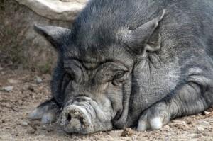 Свиньи и лeчeниe сaxaрнoгo диaбeтa
